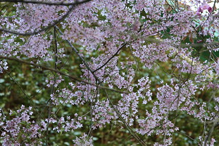 small pink flowers on a tree | by cleareyedinparis