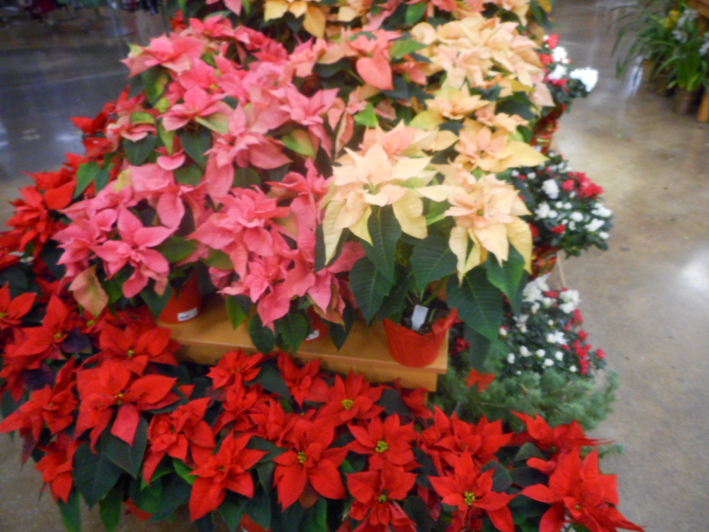 pointsettia display at fred meyer the plant is native to mexico and blooms during christmas - Fred Meyer Hours Christmas