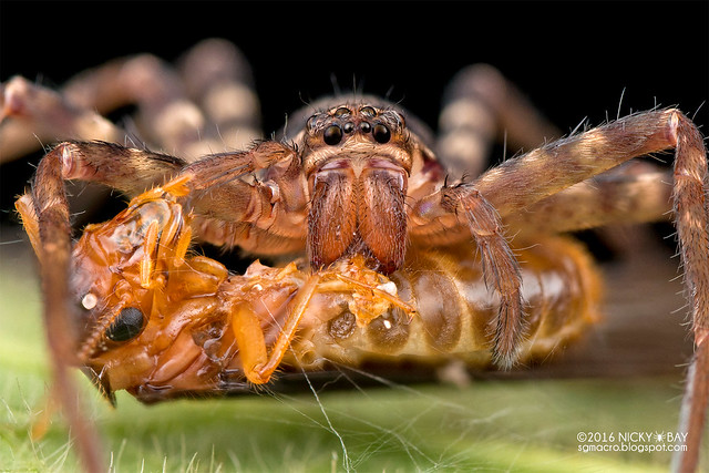 Huntsman spider (Heteropoda sp.) - DSC_2095