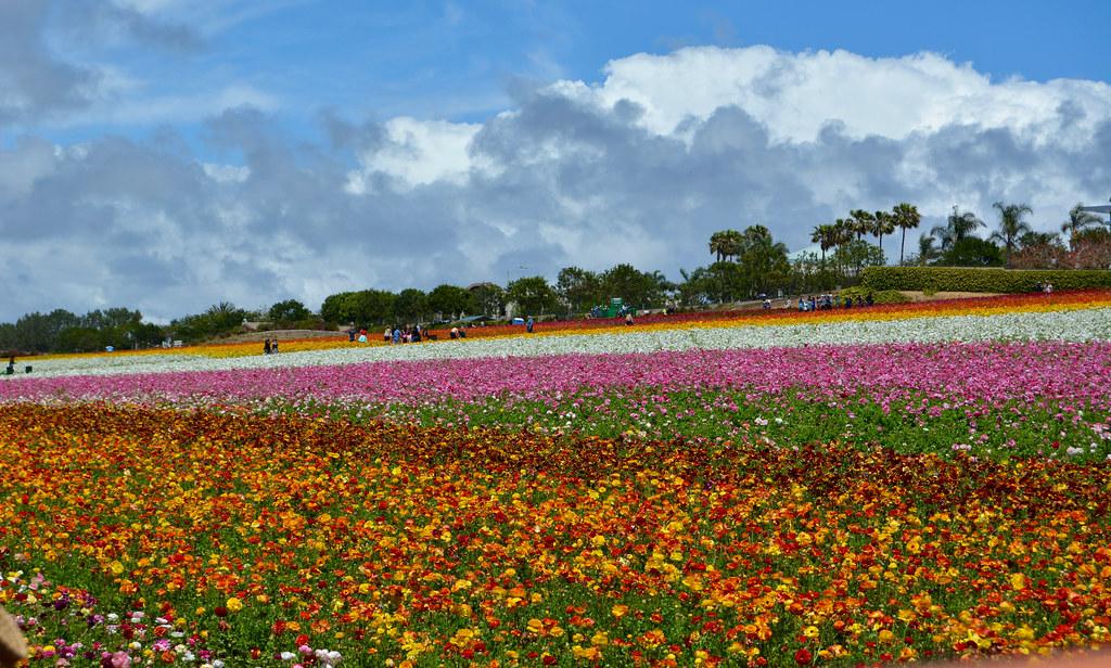 carlsbad flower field에 대한 이미지 검색결과