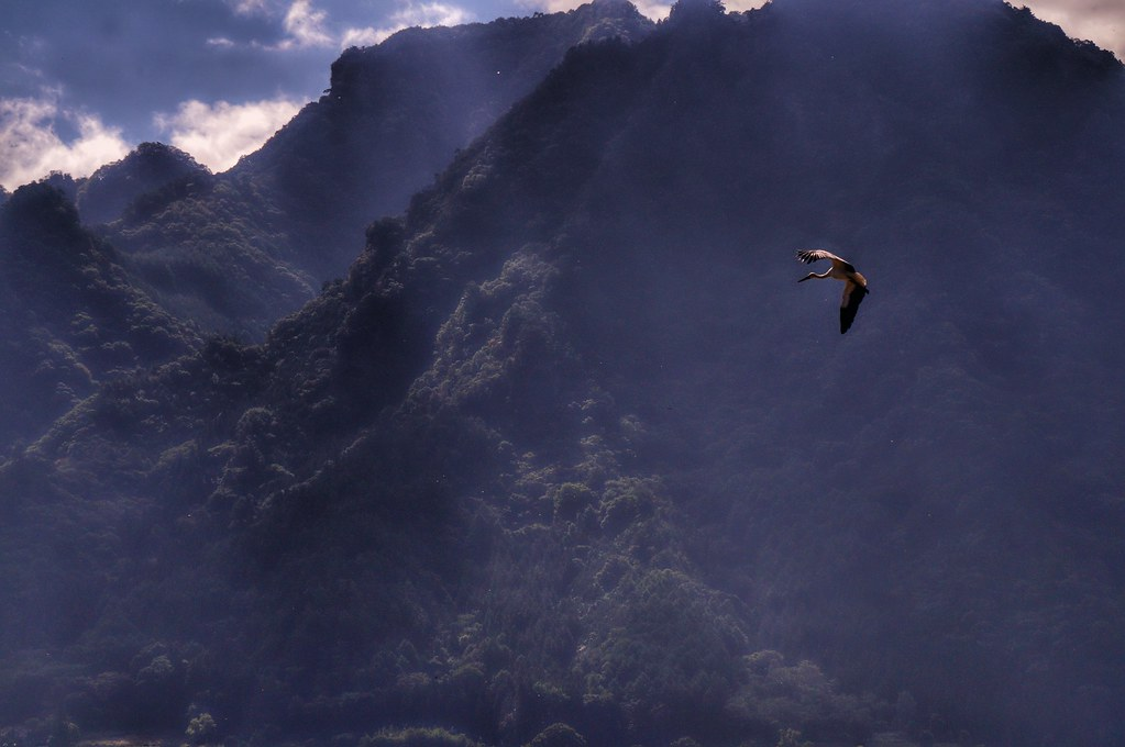 an oriental white stork is flying in the mountains taken flickr