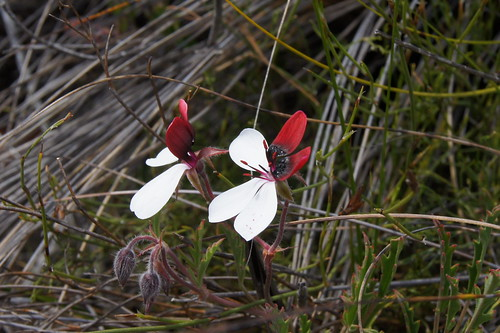 Pelargonium tricolor