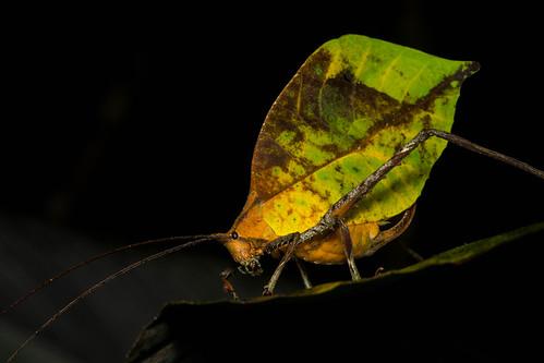 Leggy Leaf