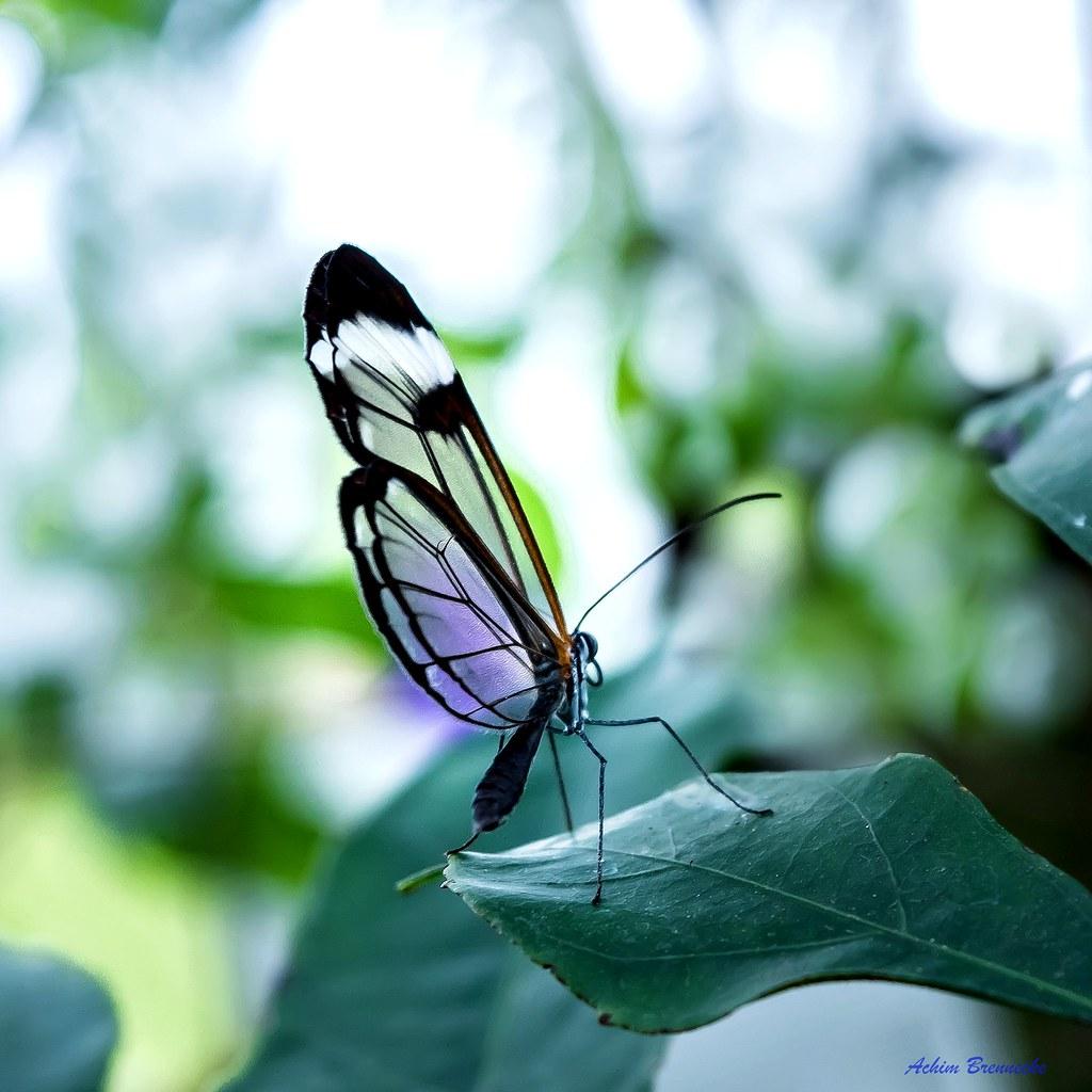 Glasswinged Butterfly Insel Mainau Ein Höhepunkt Des M Flickr