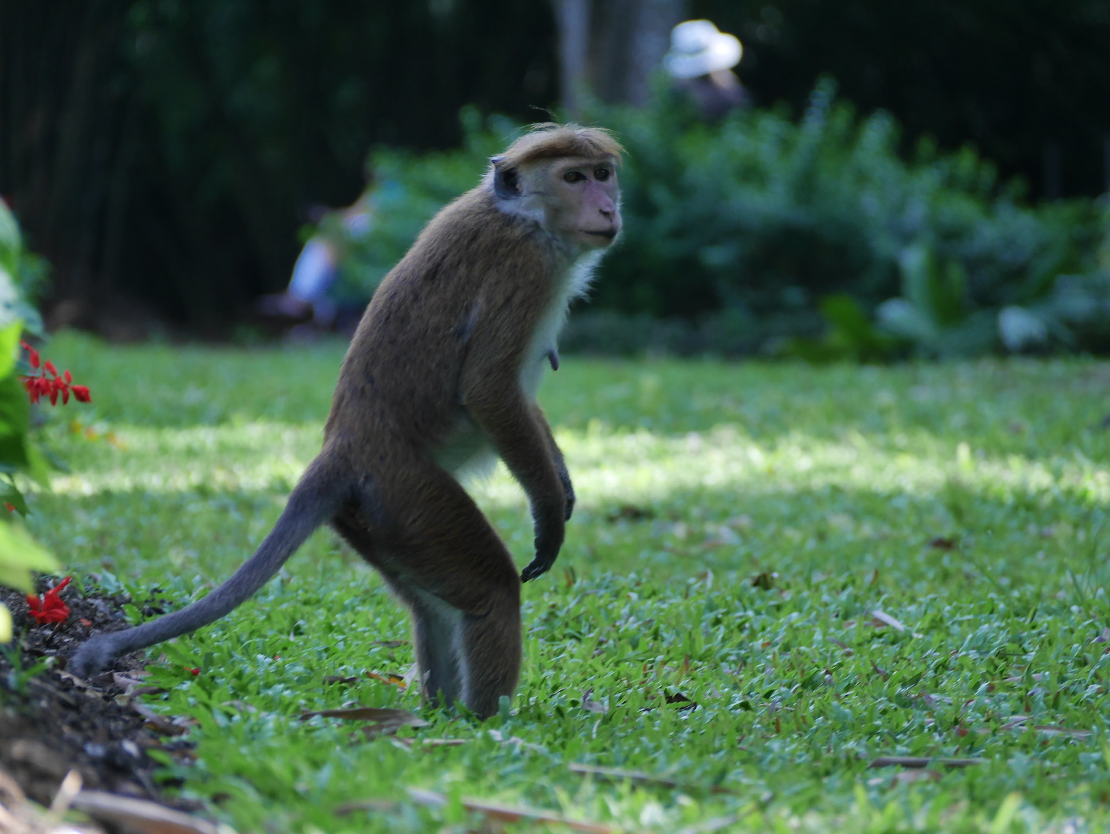 Monkey(Kandy Botanical Gardens, Sri Lanka)