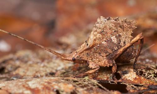 Dead leaf-mimicking katydid (Typophyllum sp.) (3)