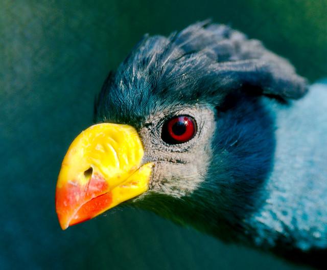Congo Peafowl (Afropavo congensis)_3