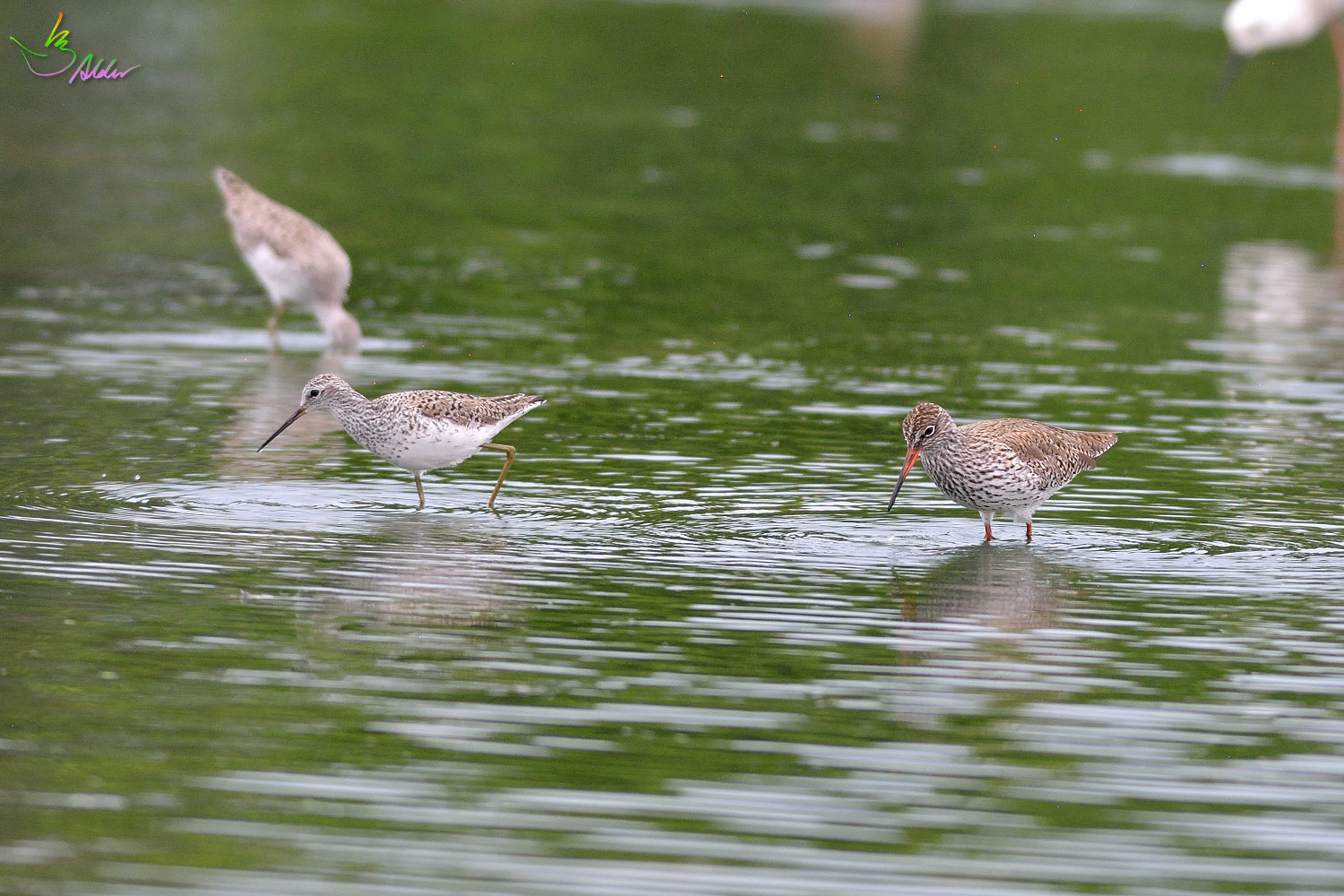 Common_Redshank_3161