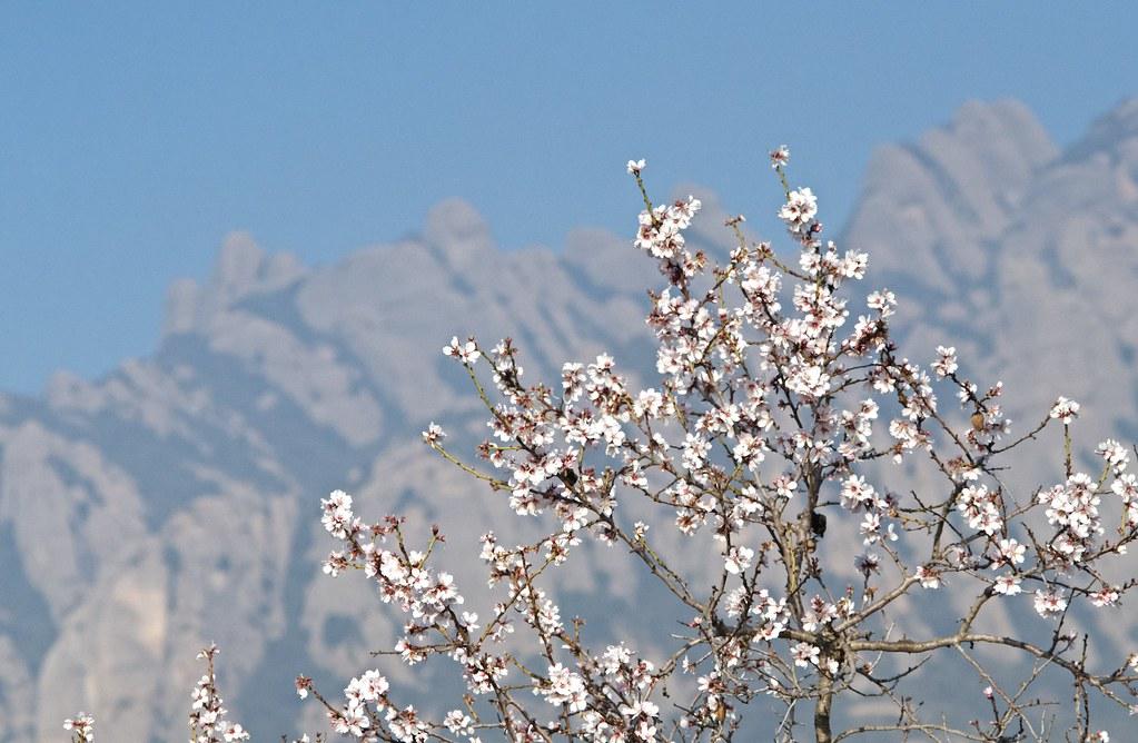 Almond tree and Montserrat
