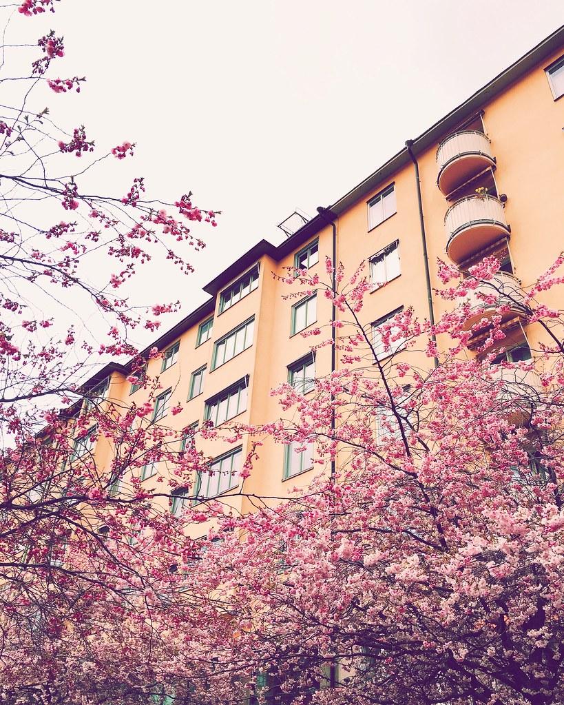 Cherry blossom, Bysis torg