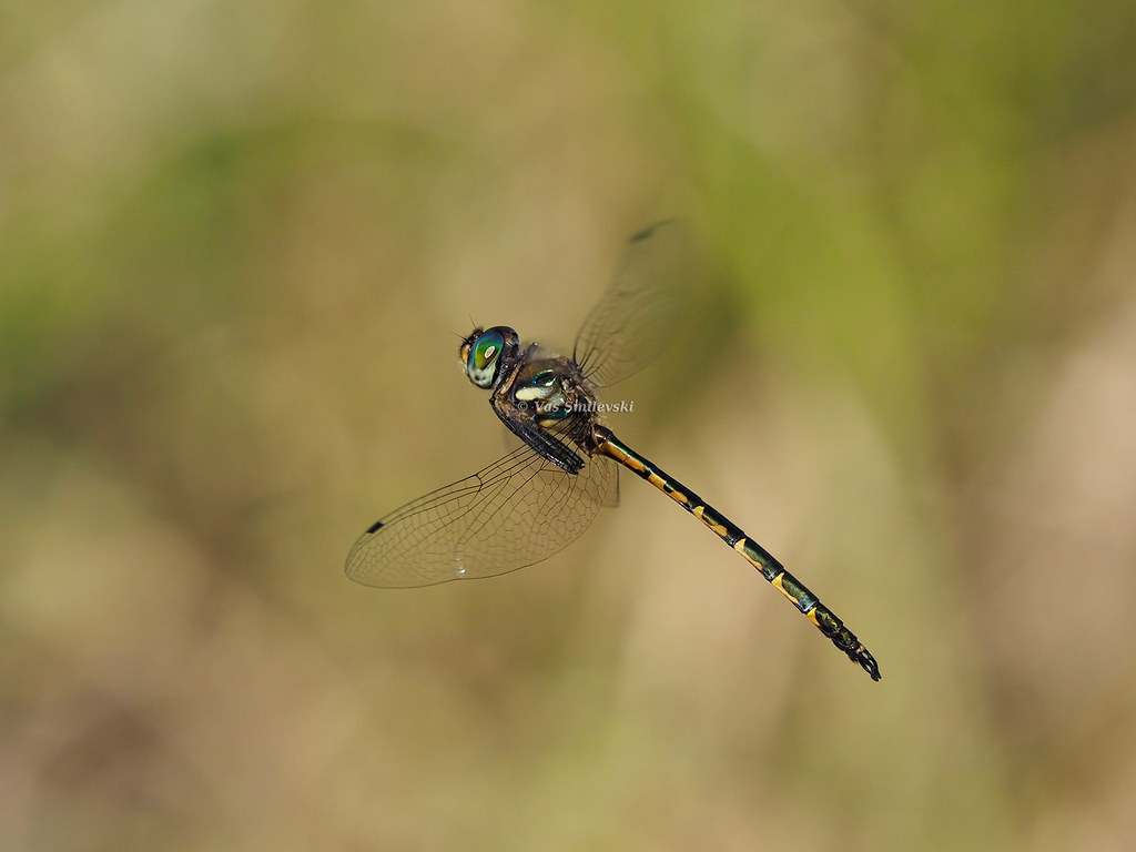female wiki flickr gailhampshire hemicordulia australiae emerald file australian