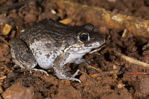 Marbled Marshfrog (Limnodynastes convexiusculus) | by Nathan Litjens