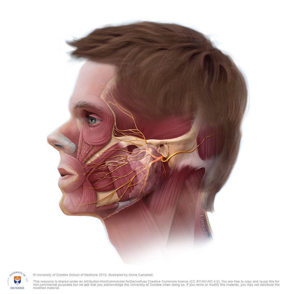 Head Anatomy TMJ NO Labels by Annie Campbell | Medical illus… | Flickr