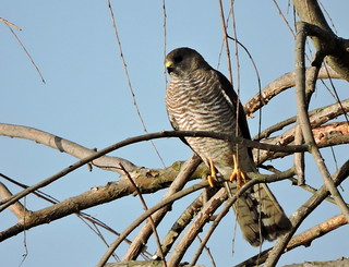 Accipiter brevipes, Σαίνι, Levant Sparrowhawk, | by doctor_forester