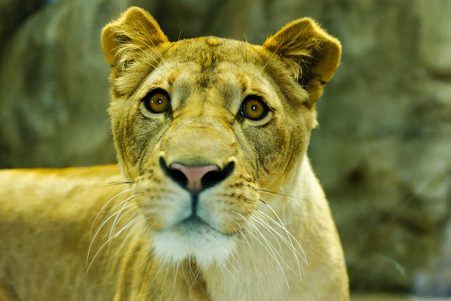 Female Young Lion, Flavia of Zoological Gardens : ズーラシア 雌ライオンのフラビア