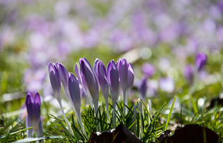 Crocus | by Infomastern