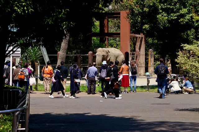 Female Indian Elephant of Ueno Zoo : 雌のインドゾウ