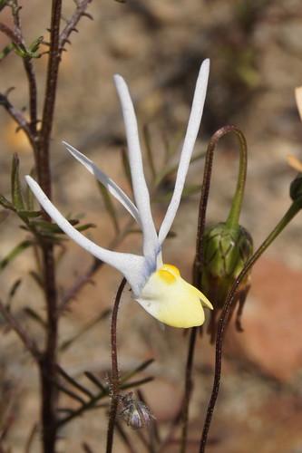 Nemesia chairanthus, family Scrophulariaceae
