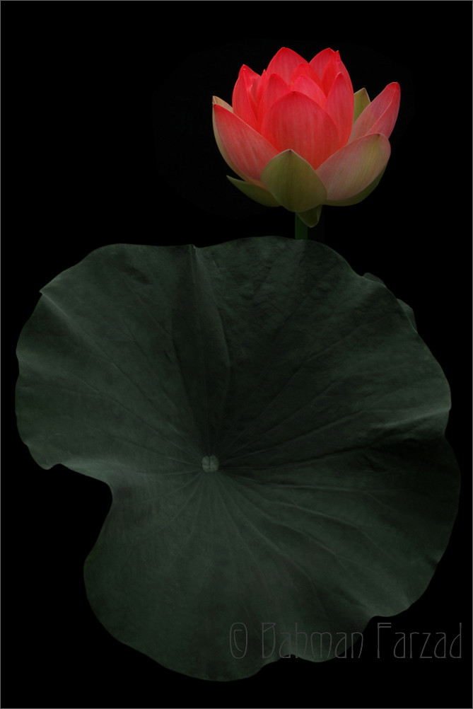 Red lotus flower and leaf on black red lotus flower and le flickr red lotus flower and leaf on black by bahman farzad mightylinksfo