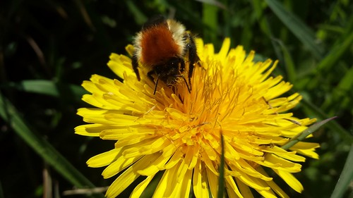 Bombus | by WLA