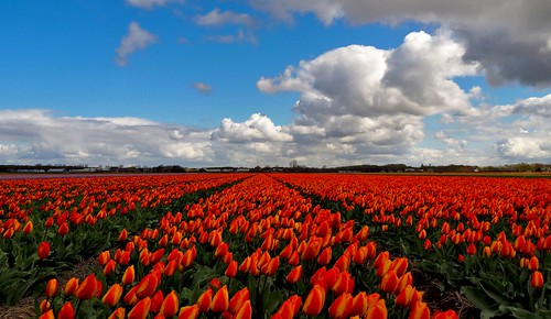 Tulip field - Holland