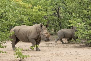 Weiße Rhinos im Ongava Game Reserve