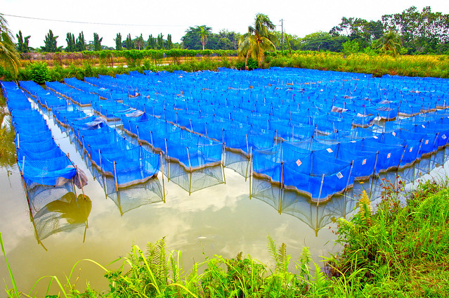 Tilapia breeding facility in Jitra, Malaysia. Photo Jens Peter Tang Dalsgaard