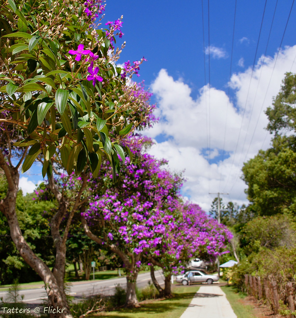 Purple Glory Trees In Australia Flaxton Drive Along The Bl Flickr