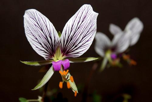 Pelargonium praemorsum subsp. speciosum