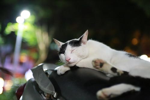 スクーターの上で笑顔でくつろぐ台湾の猫の写真