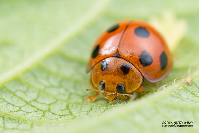 Ladybird (Coccinellidae) - DSC_5806