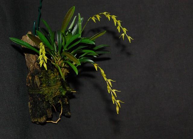 Pleurothallis costaricensis 24646395976_54d2cdfe78_z