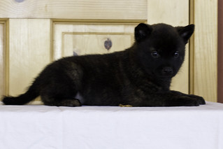 Kumi-Litter5-Day37-Puppy1-Female-d | by brada1878