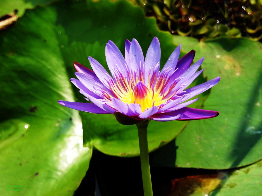 Blue lotus nymphaea caeruleanymphaeaceae flickr by qmh rumon blue lotus nymphaea caeruleanymphaeaceae by qmh rumon izmirmasajfo