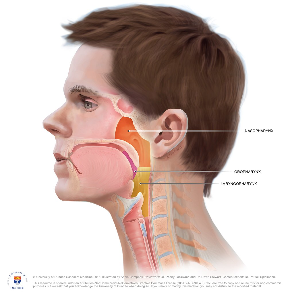 Anatomy of the Pharynx, Oropharynx and Laryngopharynx by A… | Flickr