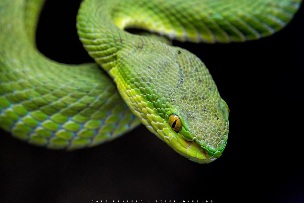 Weisslippen Bambusotter Trimeresurus Albolabris Flickr