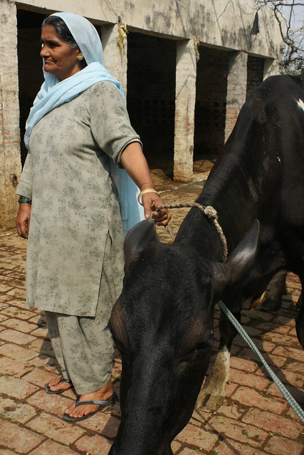 Sanjiv's mother, who insisted in keeping the family cows in the family business