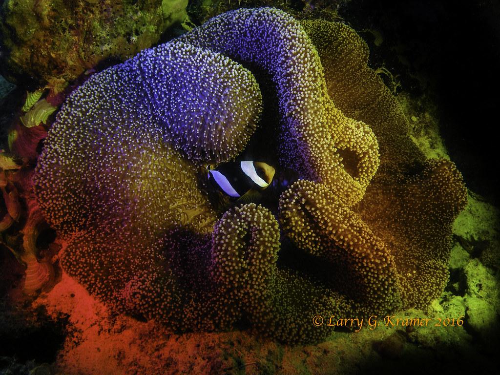 Amphiprion clarkii_clownfish_Stichodactyla_haddoni_sea_anemone_DSCN4198-3