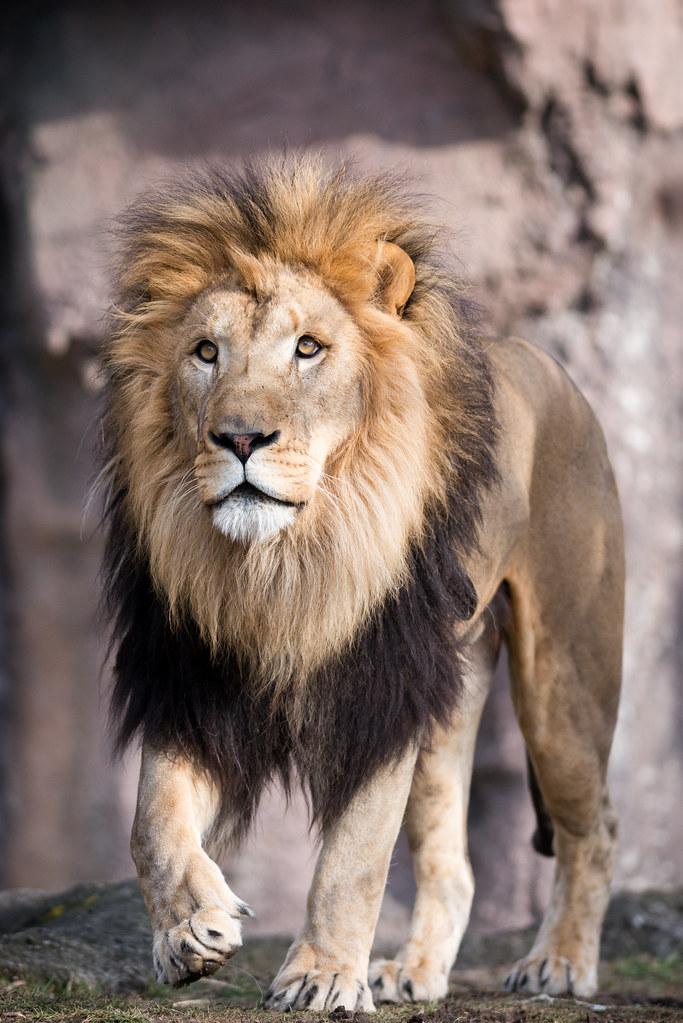 lion walking towards the camera eric kilby flickr