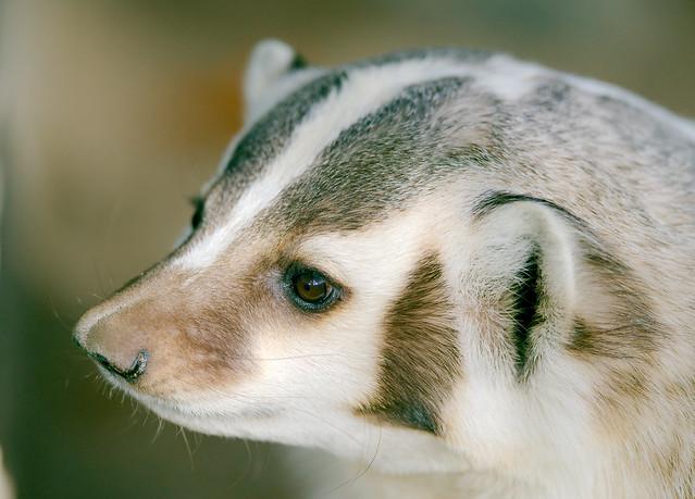 American Badger (Taxidea taxus)_4