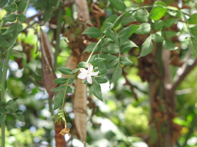 starr-090806-3873-Jasminum_grandiflorum-flowers_and_leaves-Wailuku-Maui