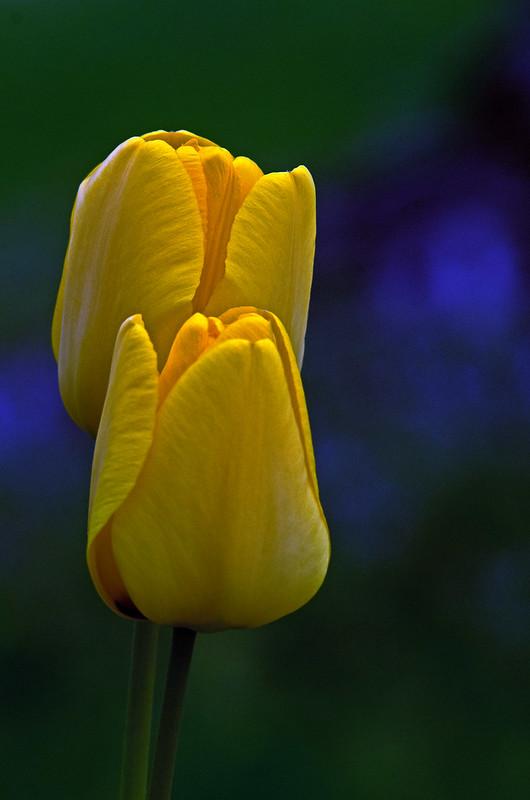 Tulip 007