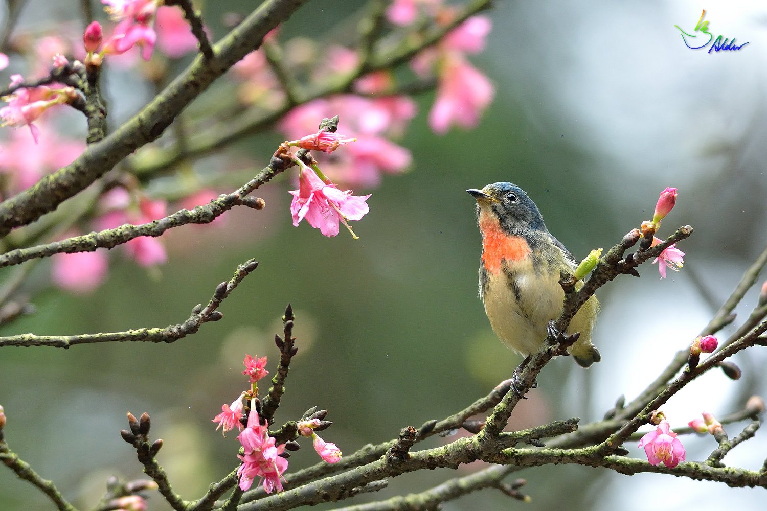 Fire-breasted_Flowerpecker_1709