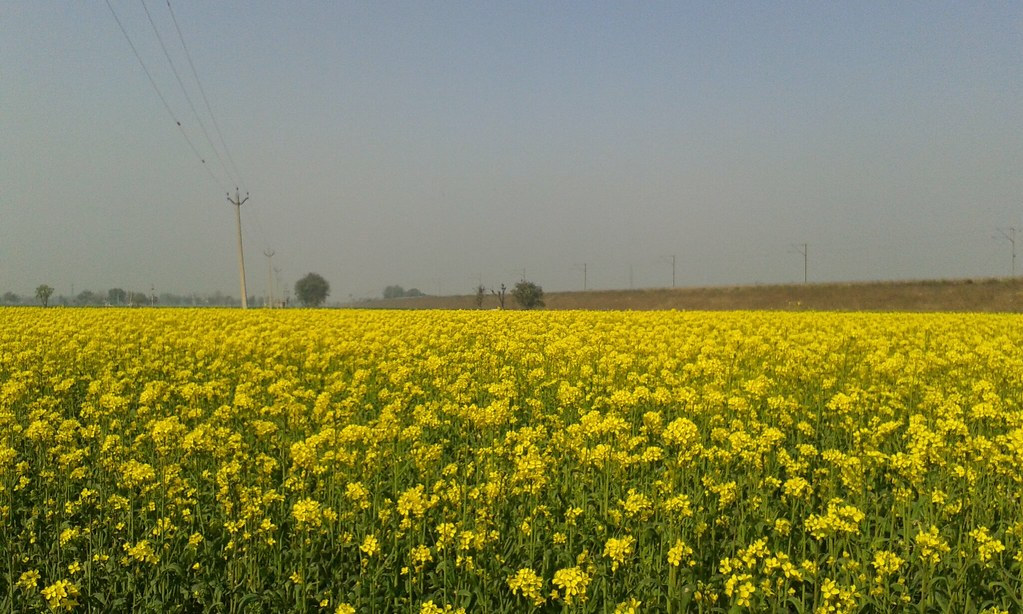 The yellow flowers of the mustard fields of ucha pind sang flickr the yellow flowers of the mustard fields of ucha pind sanghol present an amazing view mightylinksfo
