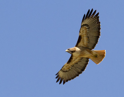 Red-tailed Hawk along Figueroa Mountain Road | by grandmasandy+chuck