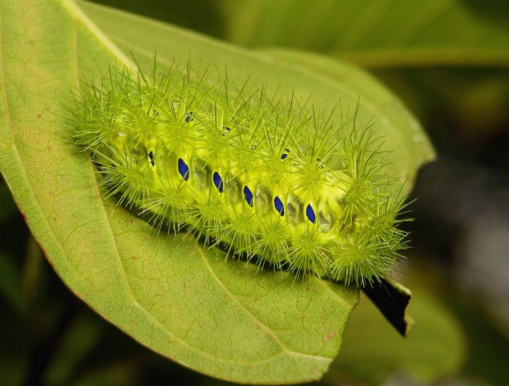 """Stinging Nettle Slug Caterpillar (Cup Moth, Scopelodes sp., Limacodidae) """"Submarine"""""""