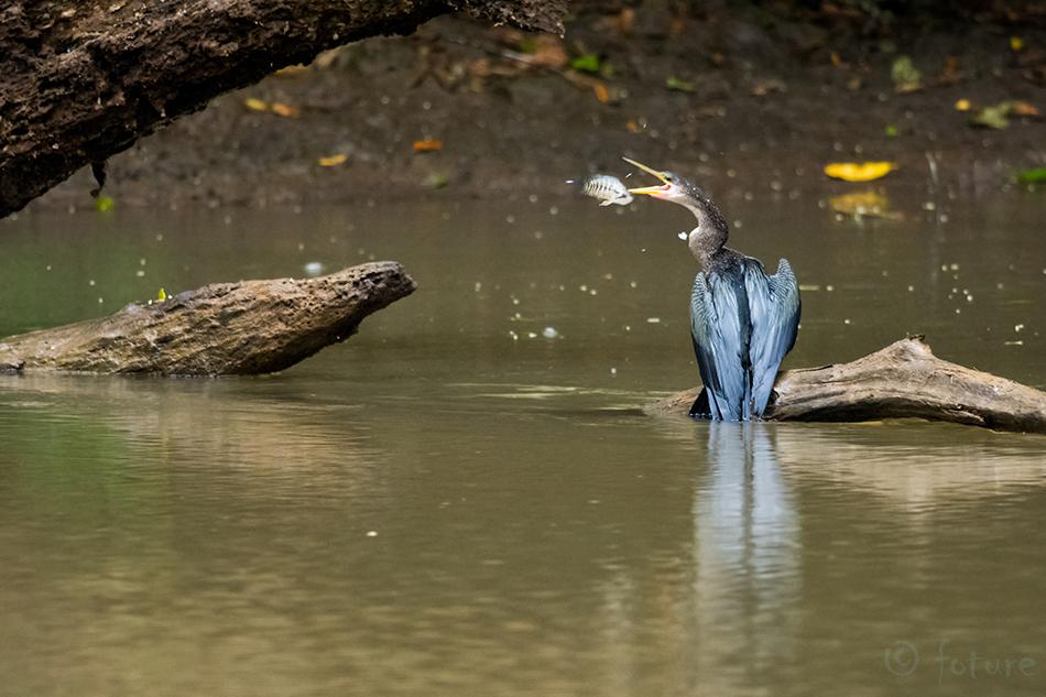 Ameerika, madukael, Anhinga, American, Darter, Snakebird, Caño, Negro, Wildlife, Refuge, Costa Rica, Kaido Rummel