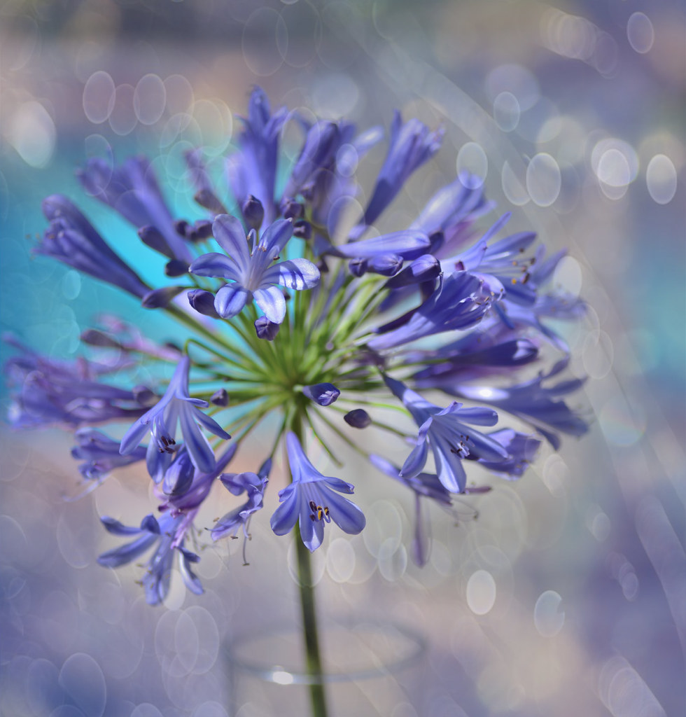 Lily of the nile agapanthus africanus zara flickr lily of the nile by zara calista izmirmasajfo