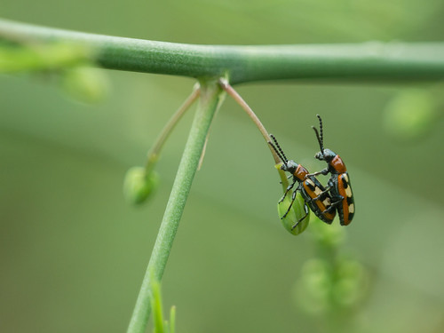 Asparagus Beetle Control: Common Asparagus Beetle- Aspergehaantje