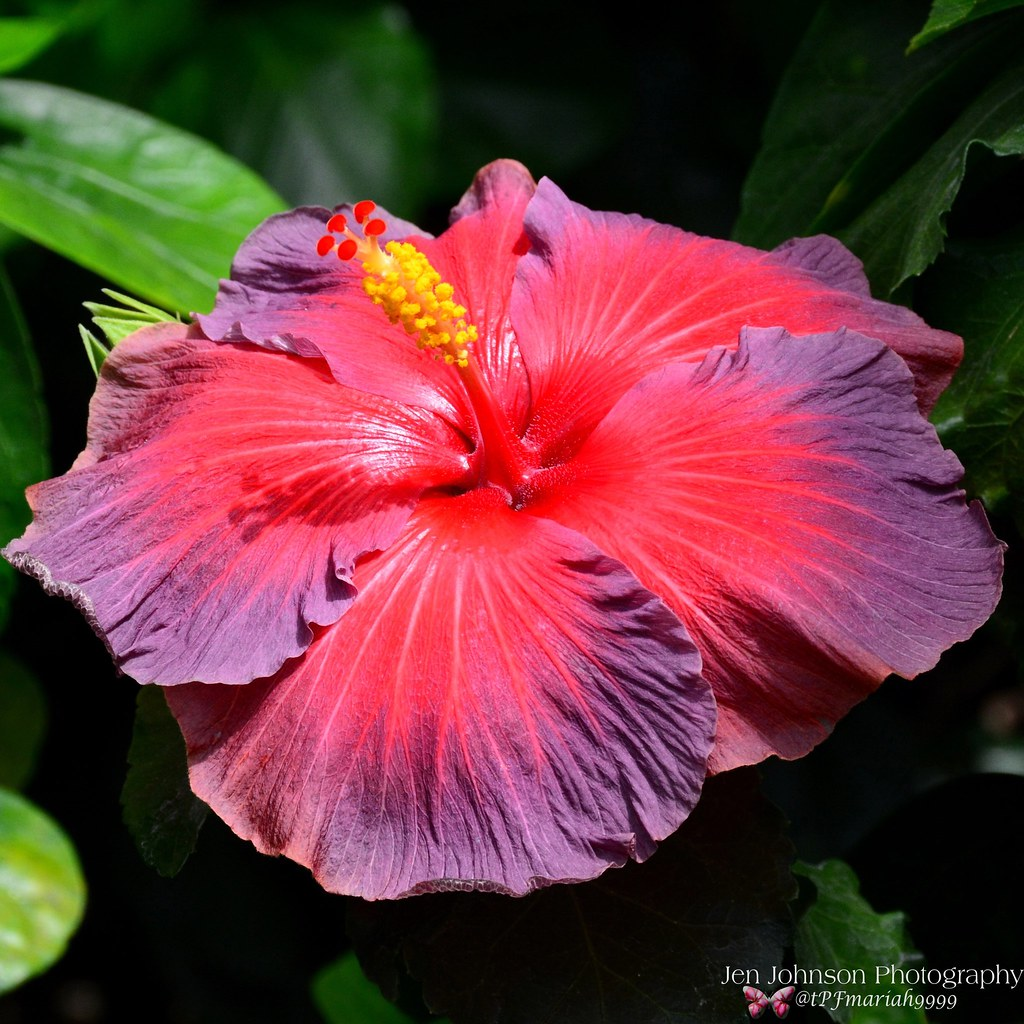 Beautiful Purple Pink Hibiscus Flower Jen Johnson Flickr